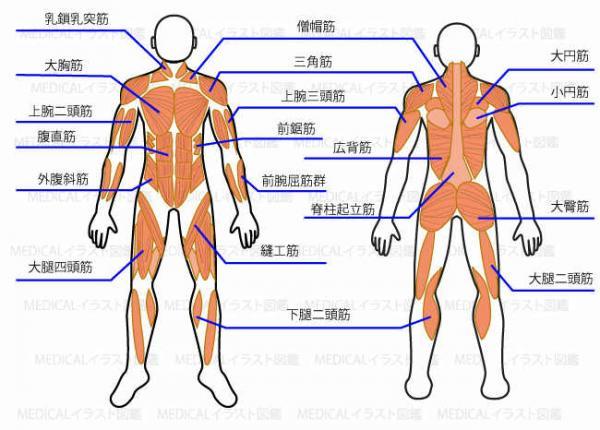 筋肉名称を覚えよう!|筋肉名称,筋肉,名前,筋肉図, …